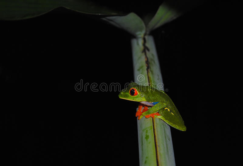 The red-eyed tree frog (Agalychnis callidryas). Is an arboreal hylid native to Neotropical rainforests where it ranges from Mexico, through Central America, to royalty free stock photos