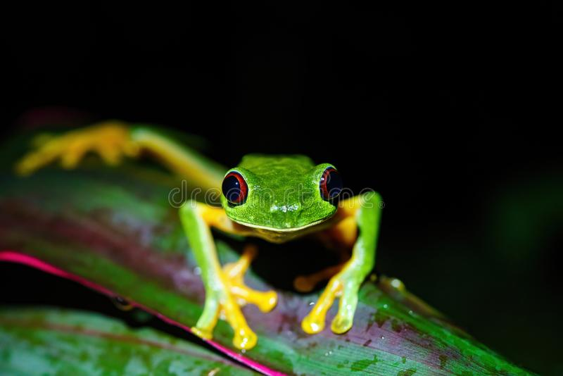 Red-Eyed Tree Frog (Agalychnis callidryas) close-up, looking into camera, taken in Costa Rica stock photography
