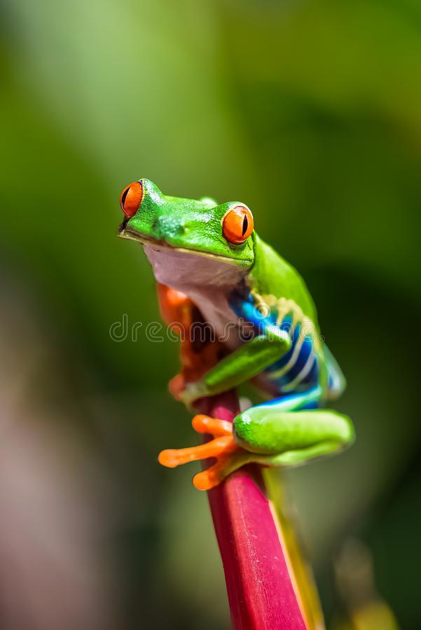 A red-eyed tree frog. Agalychnis callidryas, funny frog in Costa Rica royalty free stock photo