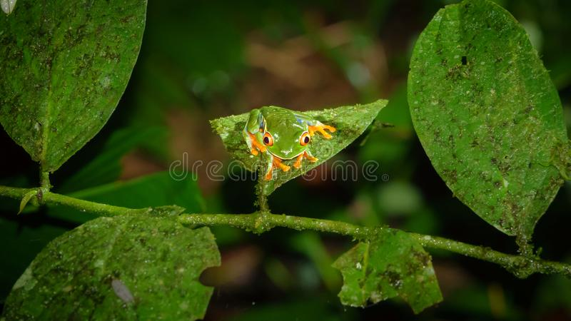 Red-eyed Tree Frog, Agalychnis callidryas by night. Closeup of Red-eyed Tree Frog over leaf, Agalychnis callidryas in Costa Rica by night stock photography