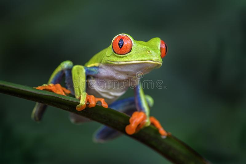 Red-eyed Tree Frog - Agalychnis callidryas. Beautiful colorful from iconic to Central America forests, Costa Rica royalty free stock photography