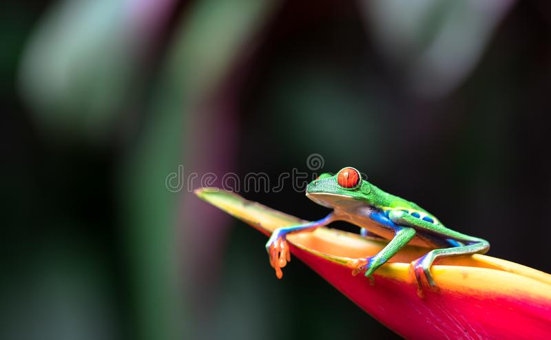 Red-eyed tree frog Agalychnis callidryas. Resting on a heliconia flower stock photos