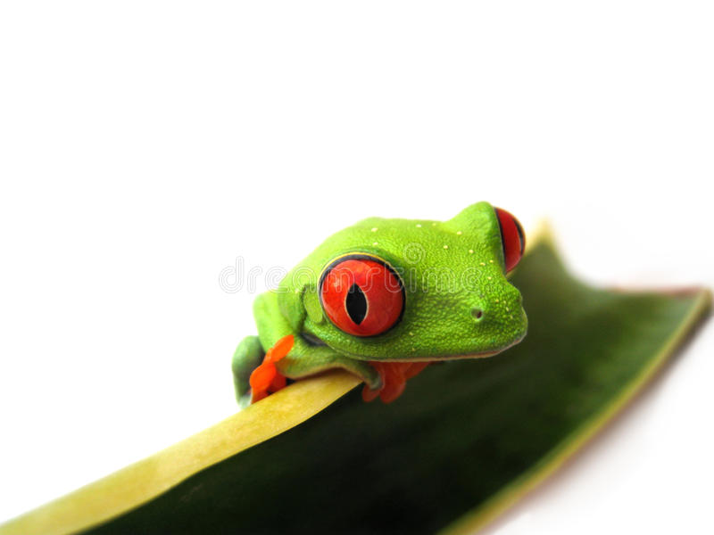 Red eyed tree frog (88), agalychnis callidryas. Red eyed tree frog, agalychnis callidryas a red eyed tree frog is sitting on a Sansevieria leaf royalty free stock photography