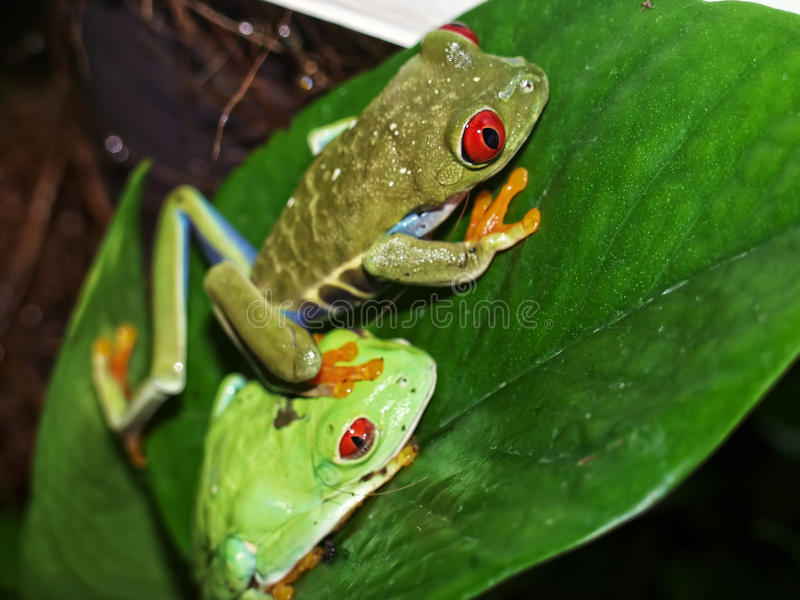 Red eyed tree frog stock images