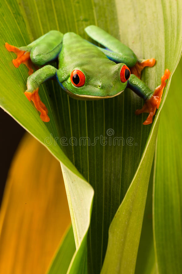Red eyed tree frog, Agalychnis callydrias royalty free stock photos