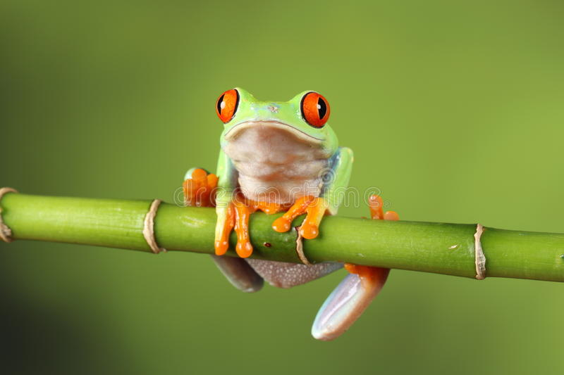 Red eyed tree Frog on bamboo. Red eyed tree frog sitting on bamboo stock images