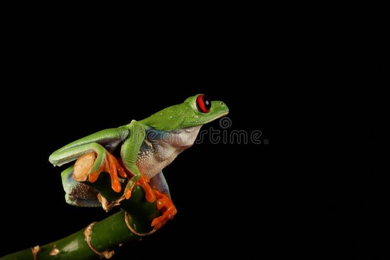 Red Eyed Tree Frog. On bamboo - Studio photo stock photo