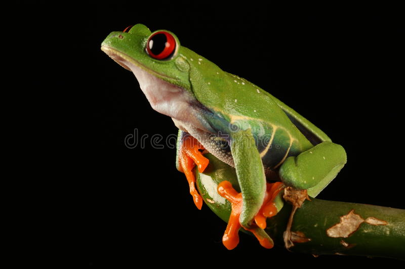 Red Eyed Tree Frog. On black royalty free stock photography