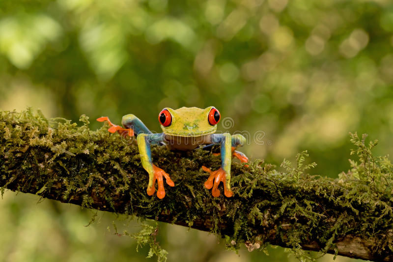 Red-eyed tree frog on branch royalty free stock photography
