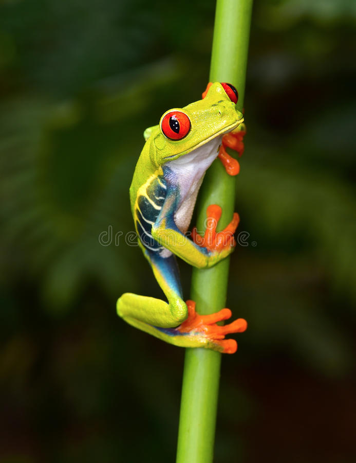 Red eyed tree frog on branch, cahuita, costa rica. The red eyed tree frog or gaudy leaf frog or Agalychnis callidryas is a arboreal hylid native to tropical stock photography