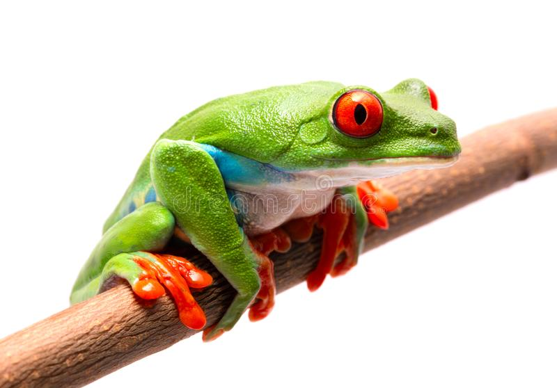 Red eyed tree frog on a branch isolated on white royalty free stock photography