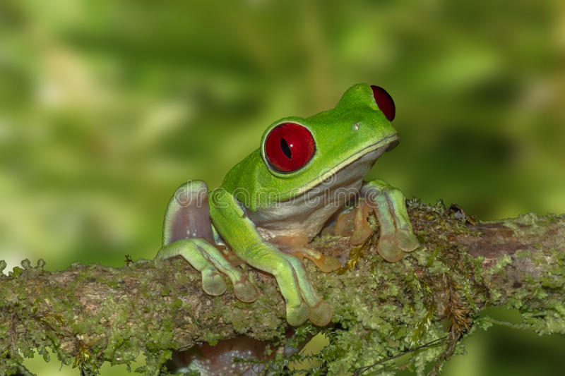 Red-eyed Tree Frog On A Branch royalty free stock photo