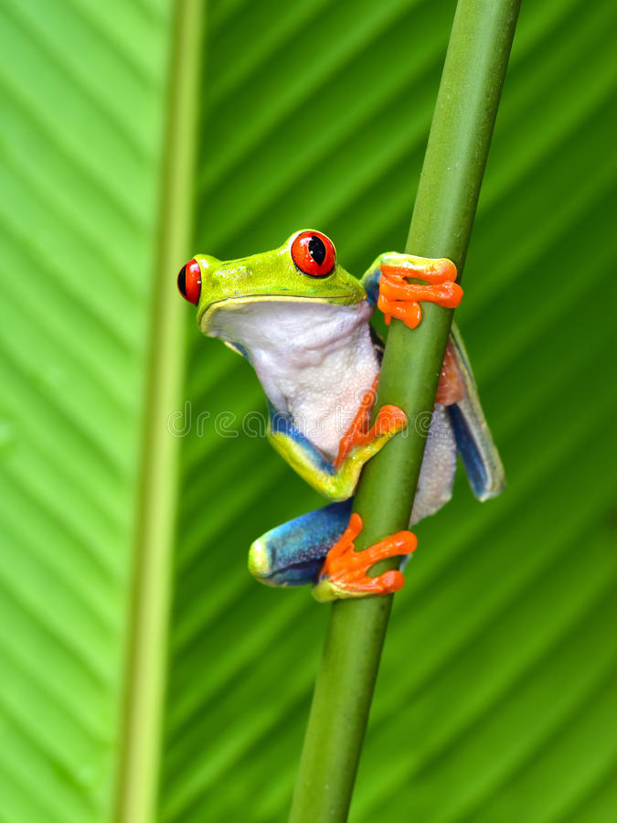 Red eyed tree frog, cahuita, puerto viejo, costa rica. The red eyed tree frog or gaudy leaf frog or Agalychnis callidryas is a arboreal hylid native to tropical royalty free stock photography
