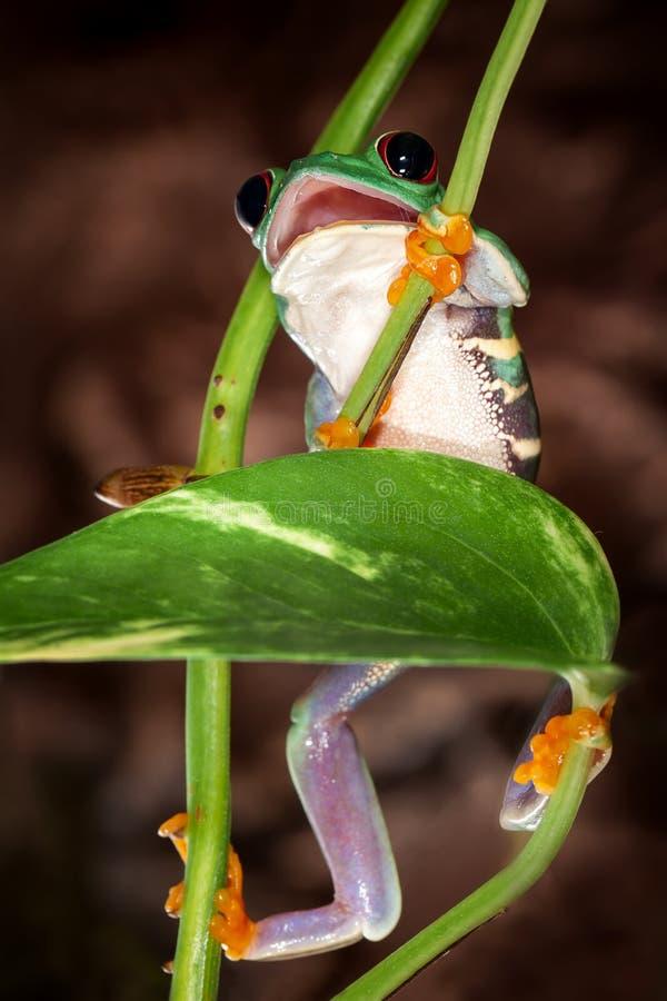 Red eyed tree frog climbs up stock photos
