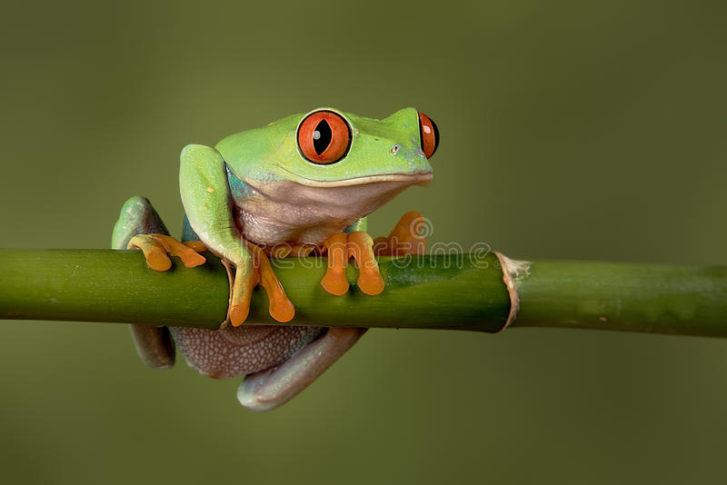 Red eyed tree frog stock photography