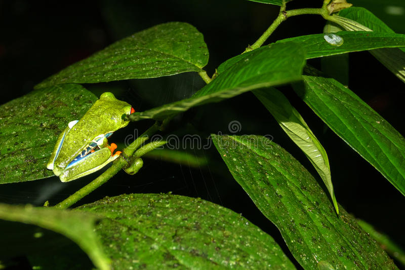Red-eyed Tree Frog closeup Agalychnis callidryas by night in Costa Rica. Side view closeup of Red-eyed Tree Frog, Agalychnis callidryas in Costa Rica by night stock images