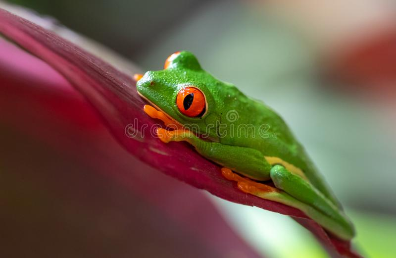 Red-eyed Tree frog. In Costa Rica stock photo