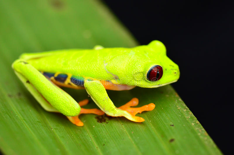 Red eyed tree frog. In Costa Rica royalty free stock photography