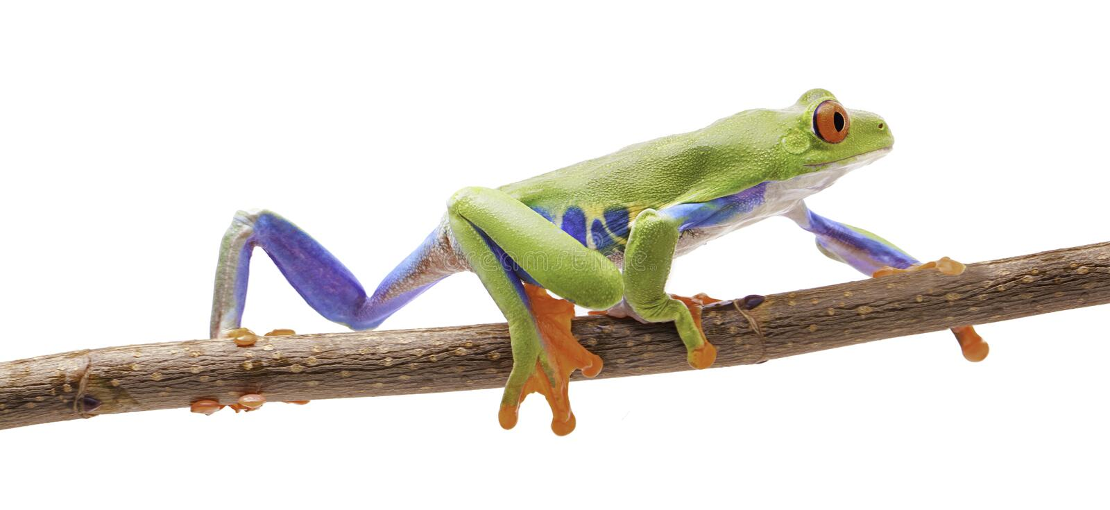 Red eyed tree frog crawling on a twig. Isolated on white. A beautiful exotic animal from the tropical rain forest of Costa Ric stock images