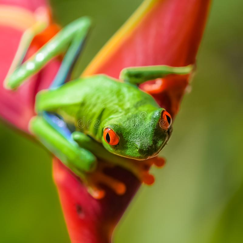 A red-eyed tree frog, funny frog. A red-eyed tree frog, Agalychnis callidryas, funny frog in Costa Rica, climbing on a parakeet flower royalty free stock photos