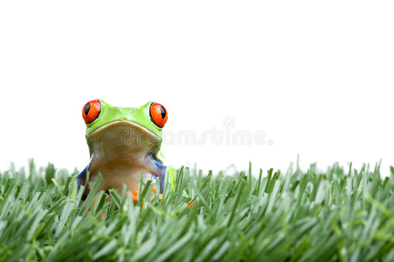 Download Red-eyed Tree Frog In Grass Stock Photo - Image: 3547984