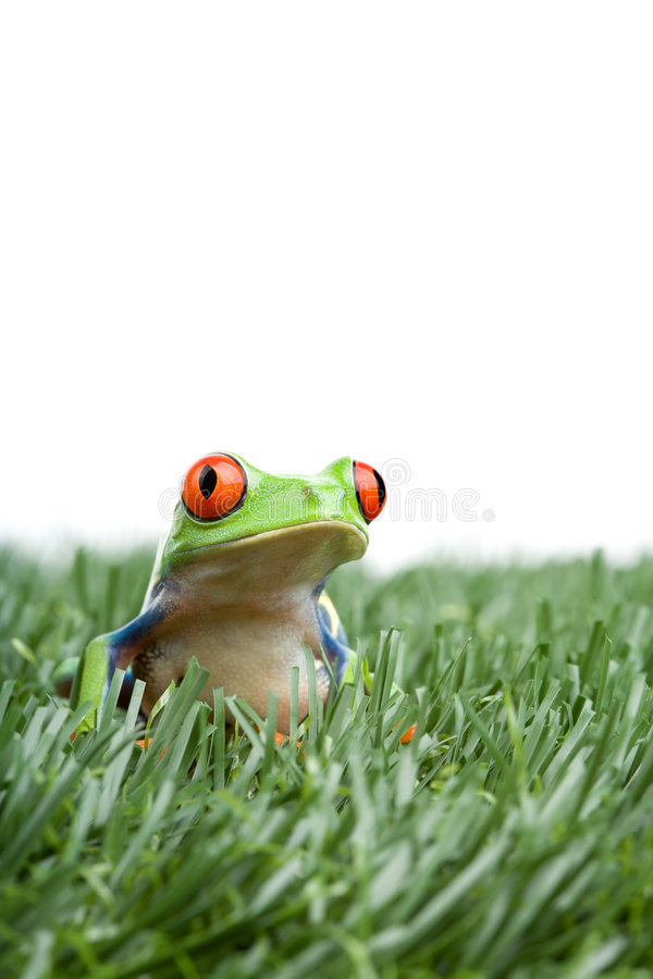 Red-eyed tree frog in grass. Red-eyed tree frog (Agalychnis callidryas) in the grass, closeup isolated on white royalty free stock image