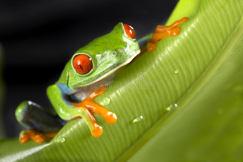 Red Eyed Tree Frog on green Leaf royalty free stock images