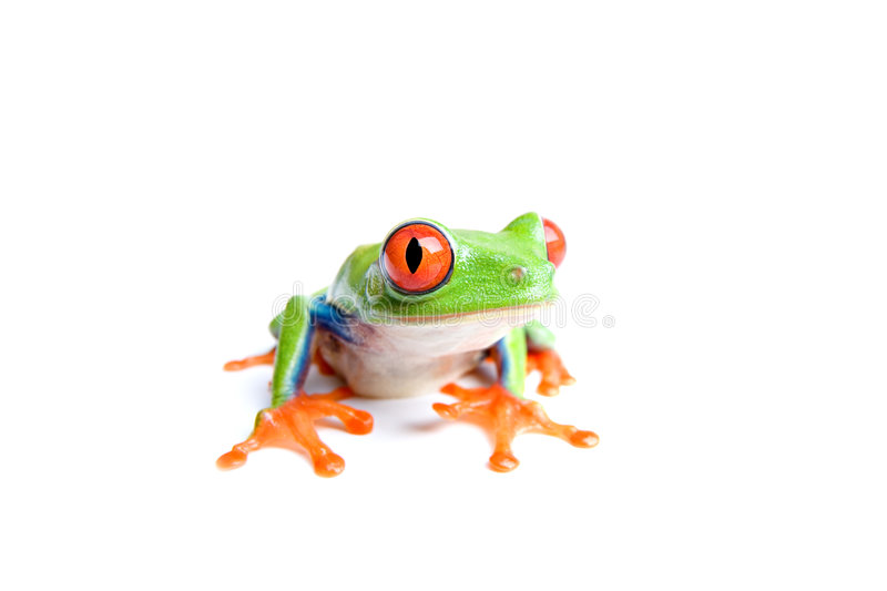 Red-eyed tree frog isolated. Red-eyed tree frog (Agalychnis callidryas) closeup, isolated on white stock image