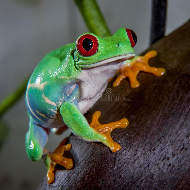 Beautiful red eyed tree frog. Red eyed tree frog isolated on white. Agalychnis callidrias a tropical amphibian from the rain forest of Costa Rica and Panama stock images