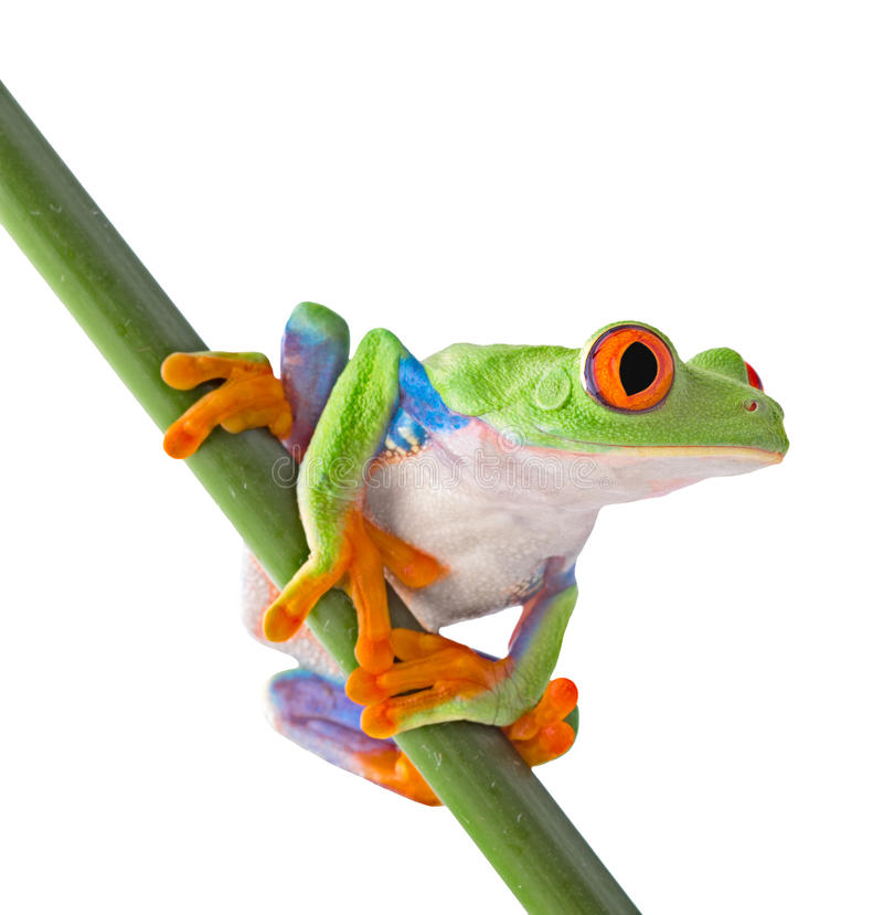Red eyed tree frog isolated. On white. Agalychnis callidrias a tropical amphibian from the rain forest of Costa Rica and Panama. Beautiful jungle animal stock photography