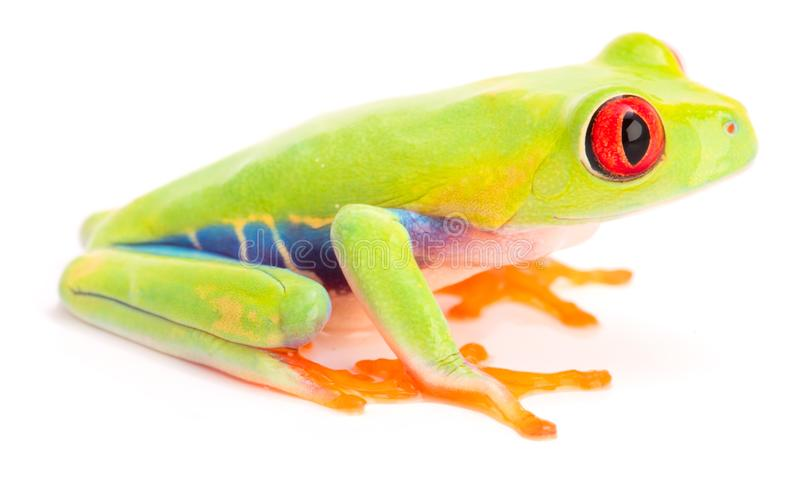 Red eyed tree frog, juvinile, Agalychnis callidrias. From the tropical rain forest of Costa Rica isolatd on a white background stock image