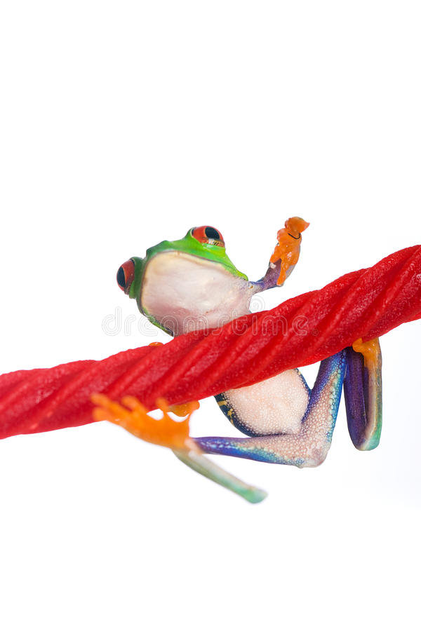 Red Eyed Tree Frog On A Licorice Rope Stock Images