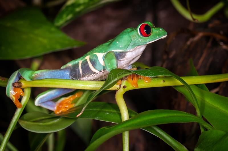 The red eyed tree frog looking royalty free stock photos