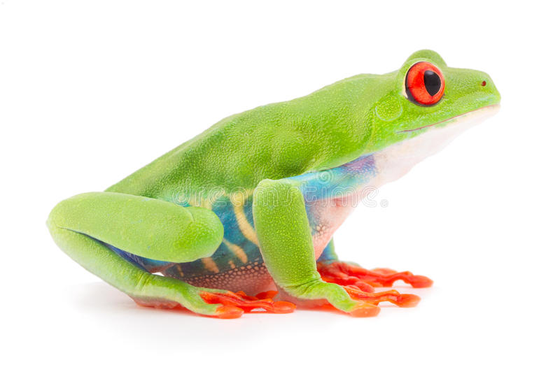 Red eyed tree frog at night royalty free stock images