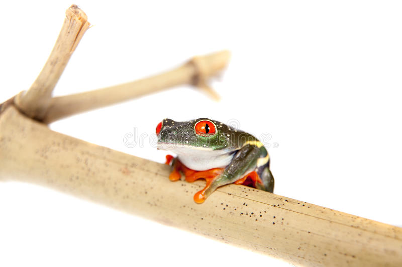 Red eyed tree frog at night on white background. Red eyed tree frog, Agalychnis callidryas, at night isolated on white royalty free stock images