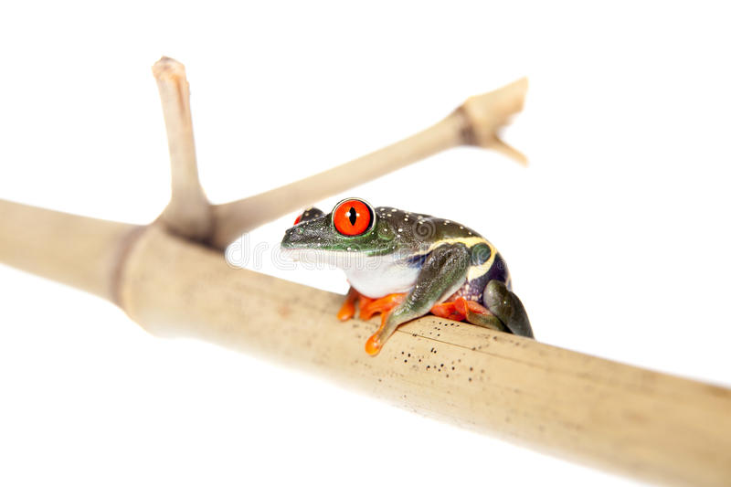 Red eyed tree frog at night on white background royalty free stock photo