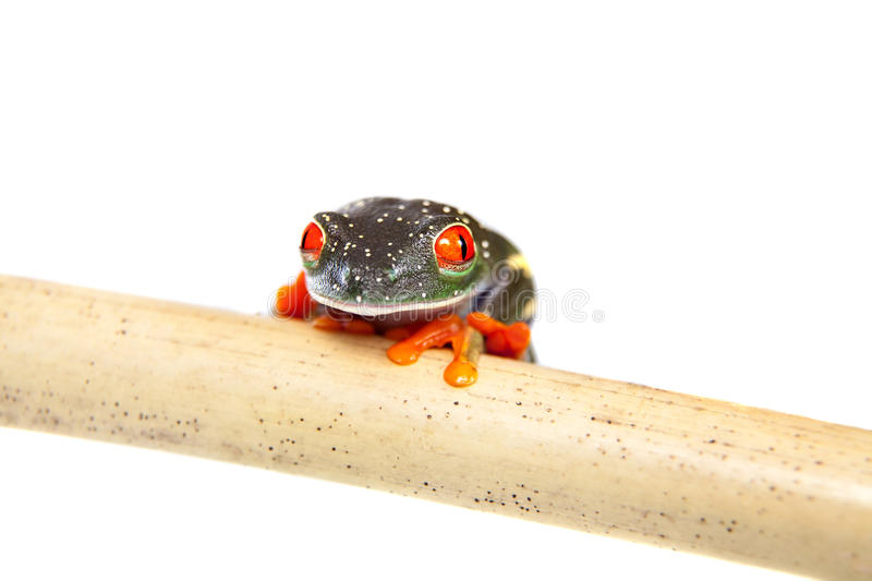 Red eyed tree frog at night on white background royalty free stock photography