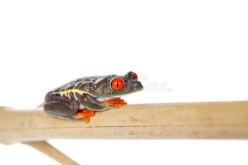 Red eyed tree frog at night on white background royalty free stock images