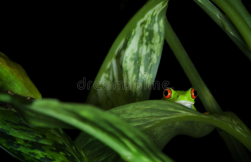 Red Eyed Tree Frog in plants. Red Eyed Tree Frog (Agalychnis callidryas) trying to hide among leaves stock photos