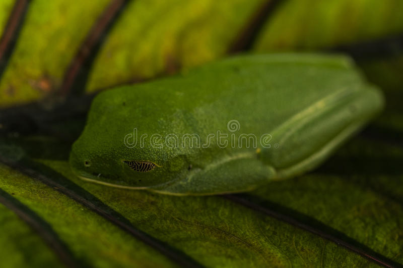 Tree frog on leaf. Red-eyed tree frog resting on a leaf, Costa Rica stock photos