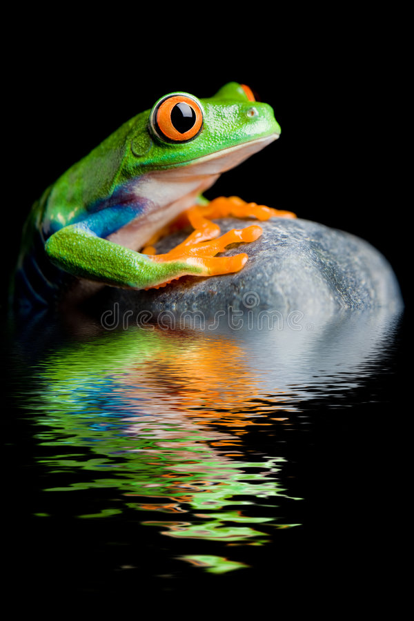 Red-eyed tree frog on a rock isolated. Red-eyed tree frog on a rock with water reflection isolated on black stock images