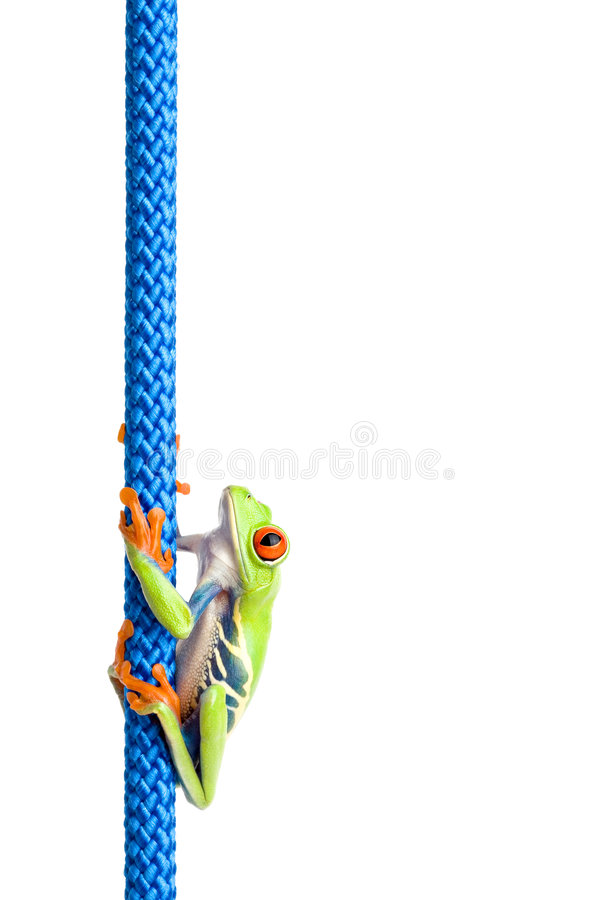 Red-eyed tree frog on rope. Red-eyed tree frog (Agalychnis callidryas) climbing on blue rope, isolated on white stock photos