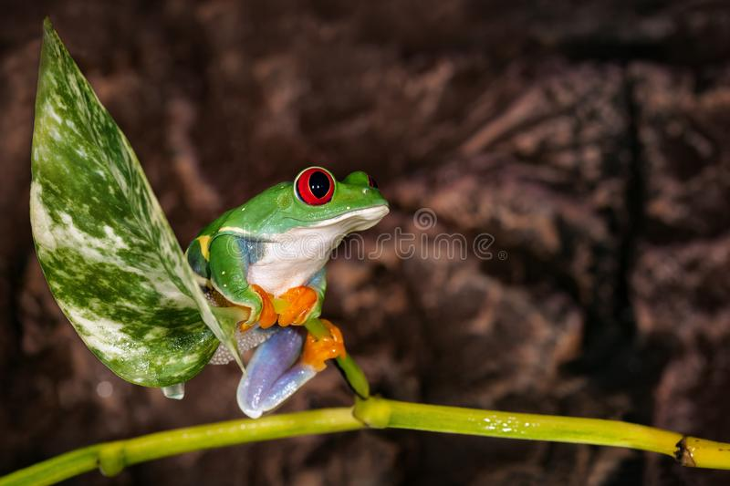 Red eyed tree frog sitting on the plant mast in dark brown background royalty free stock image