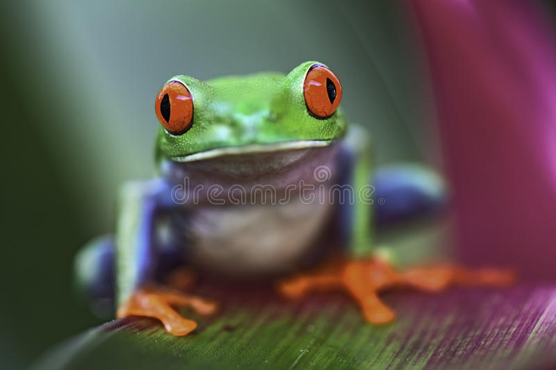 Red eyed tree frog. Tropical red eyed tree frog, Agalychnis callidrias royalty free stock image