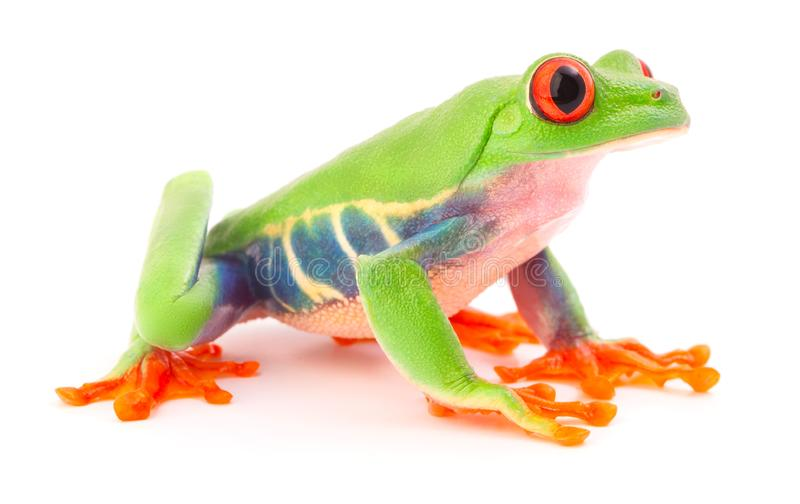 Red eyed tree frog, a tropical animal agalychnis callidrias. Red eyed tree frog, a tropical animal from the rain forest in Costa Rica isolated on white stock images