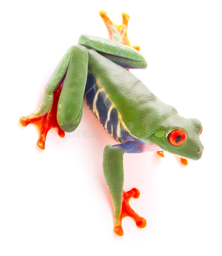 Red eyed tree frog from the tropical rain forest looking down stock images