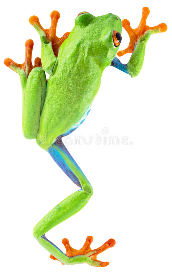 Red eyed tree frog. From tropical rainforest of Costa Rica isolated on white. Beautiful green and blue treefrog is an exotic animal from the rain forest stock photography
