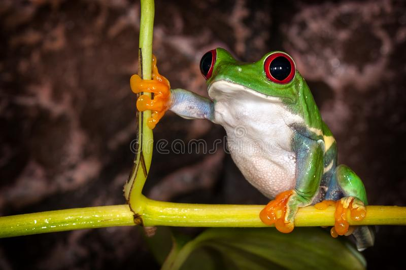 Red eyed tree frog in very important pose sitting in the terrarium royalty free stock photography