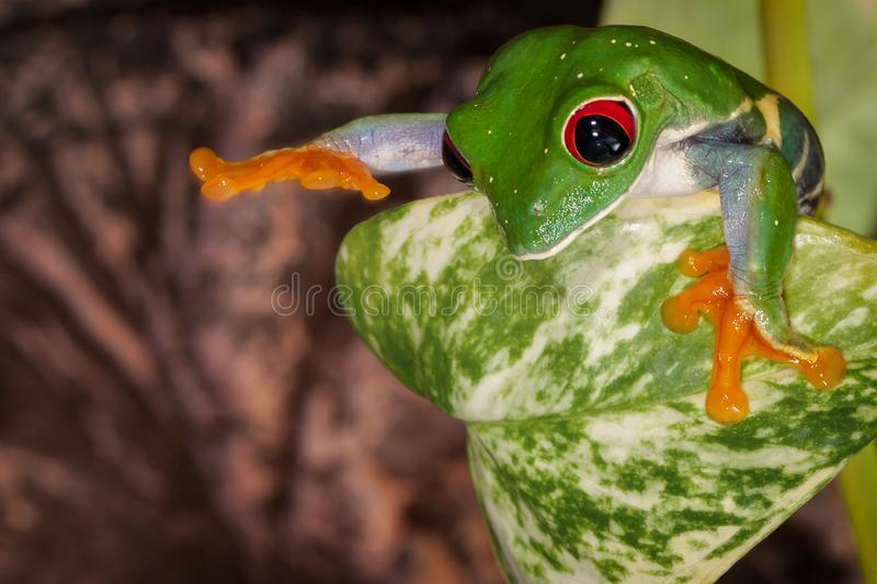 Red eyed tree frog want to touch royalty free stock images
