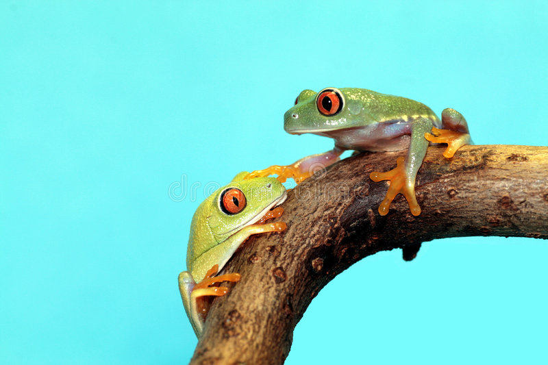 Red eyed tree frogs stock images